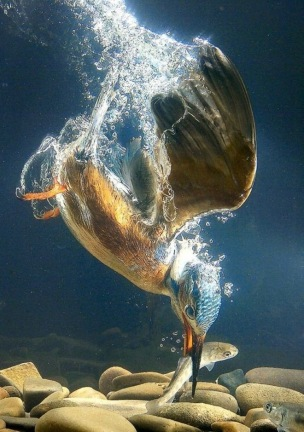 Beautiful-Bird-Catching-Fish-Underwater-Picture